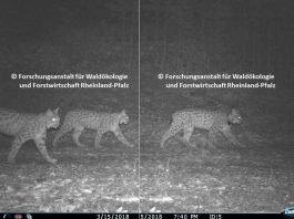 Zusammengesetztes Wildkamera-Foto der Luchs-Familie (Kaja mit Filou & Palu) (Quelle: Forschungsanstalt für Waldökologie und Forstwirtschaft Rheinland-Pfalz)