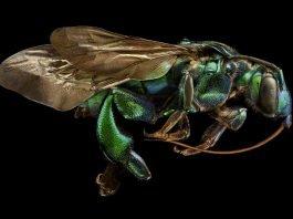 Prachtbiene (Exaerete frontalis, Seitenansicht (Foto: Levon Biss)