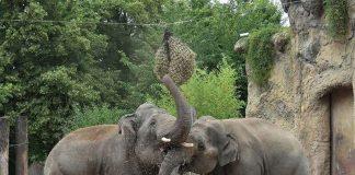 Viele unterschiedliche Beschäftigungsmöglichkeiten auf der gut strukturierten Elefantenanlage sorgen für viel Abwechslung. (Foto: Petra Medan/Zoo Heidelberg)