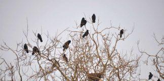 Saatkrähen auf einem Horstbaum. Um die Vögel langfristig aus der Landauer Innenstadt zu vergrämen, hat die Stadt Landau ein Gesamtkonzept in Auftrag gegeben. (Foto: Stadt Landau in der Pfalz)