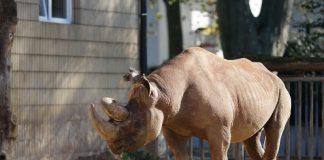 Nashorn im Frankfurter Zoo (Foto: Holger Knecht)