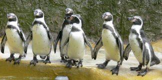 Pinguin-Gruppe (Foto: Zooschule Landau)