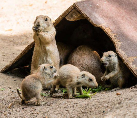 Präriehunde mit Jungtieren im Zoo Heidelberg (Foto: Peter Bastian/Zoo Heidelberg)