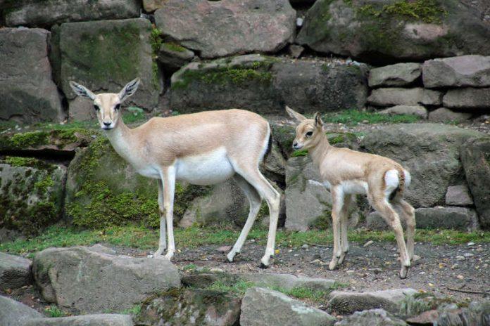 Jungtier bei den Persischen Kropfgazellen im Zoo Karlsruhe (Foto: Zoo Karlsruhe)
