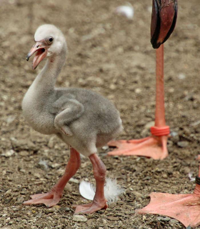 Der Mini-Flamingo erkundet bereits seine Umgebung (Foto: Zoo Karlsruhe)