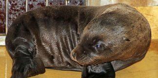 Nachwuchs bei den Seelöwen (Foto: Zoo Karlsruhe)