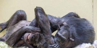 Schimpansen haben ein ausgeprägtes Sozialverhalten. (Foto: Heidrun Knigge/Zoo Heidelberg)