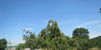 Bei zunehmendem Fruchtgewicht drohen bei diesem Apfelbaum Astabbrüche. (Foto: Landratsamt Karlsruhe)