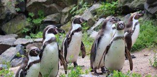 Pinguingruppe (Foto: Klaus Blumer)