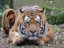 Tiger Igor (Foto: T. Schmeing)