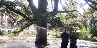 Die Feuerwehr bewässerte eine alte Zeder (Foto: Stadt Weinheim)
