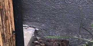 Socorrotaube (Foto: Zoo Landau)
