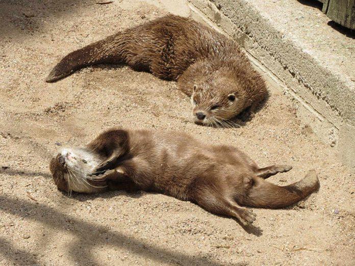 Die Zwergotter genießen die Sonne (Foto: Trageser/Zoo Heidelberg)