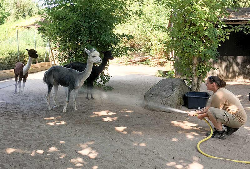 Mit einer Wasserdusche sorgen die Tierpfleger bei den Alpakas für Abkühlung (Foto: Zoo Heidelberg)