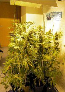 Cannabis-Pflanzen in unterschiedlichen Wachstumsphasen wurden in der Wohnung gefunden und sichergestellt