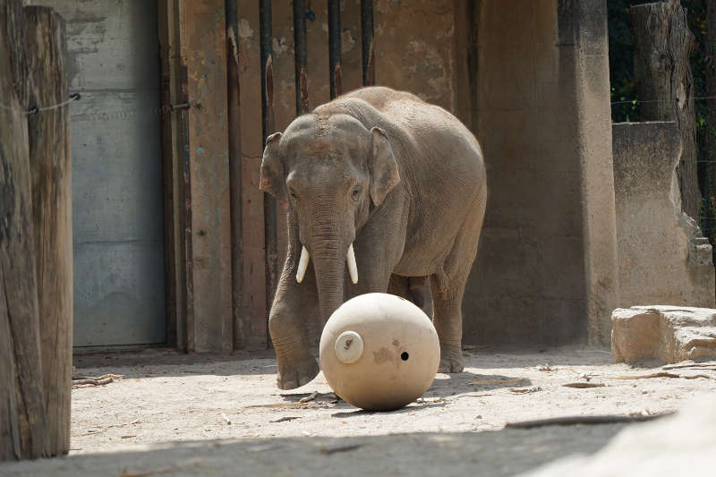 Elefant im Zoo Heidelberg (Foto: Holger Knecht)