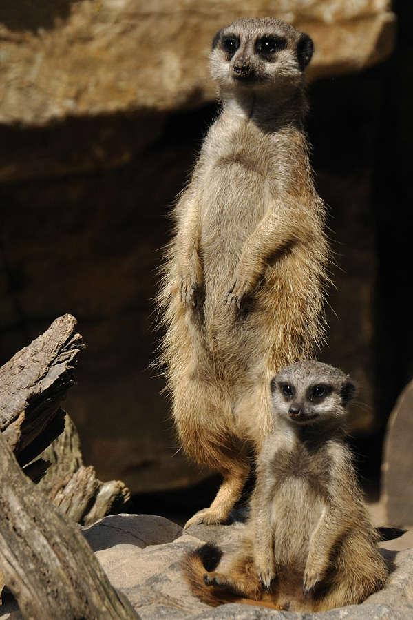 Erdmännchen (Foto: Zoo Landau/De Klerk)
