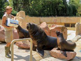 Der junge Mähnenrobbenbulle Pablo hat seinen Platz in der Gruppe gefunden. (Foto: Zoo Heidelberg)