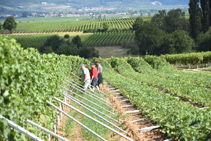 Die umgedrückten Rebzeilen des Weinguts Emil Bauer & Söhne in Nußdorf können allesamt wieder aufgerichtet werden. (Foto: Stadt Landau in der Pfalz)