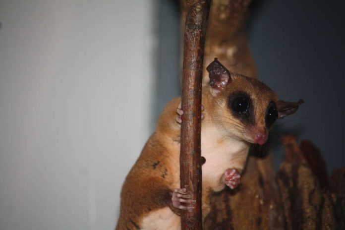 Mausopossum (Foto: Zoo Frankfurt)