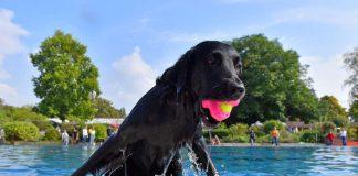 Schwimmspaß für Hunde: Nachdem die Freibadsaison beendet ist, dürfen sich am Aktionstag die Vierbeiner im Nichtschwimmerbecken des Tiergartenbads austoben. (Foto: Stadtwerke Heidelberg GmbH)