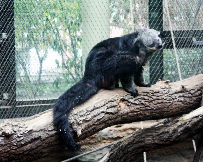 Binturong Theo im Zoo Frankfurt (Foto: Zoo Frankfurt)