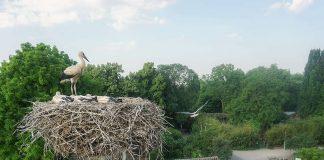 Storchennest im Zoo Heidelberg (Foto: Zoo Heidelberg)
