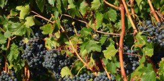 Trauben im Haßlocher Leisböhl warten auf die Weinlese (Foto: Georg Franzmann)