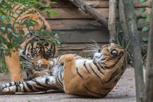 Tebo (li.) und Karis (r.) bei ihrem Rendezvous auf der kleinen Außenanlage. (Foto: Susi Fischer/Zoo Heidelberg)
