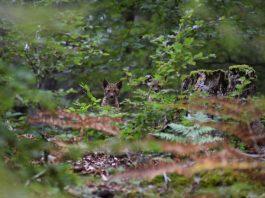 Nachwuchs bei den Pfälzerwald-Luchsen. (Foto: Allmoslöchner)