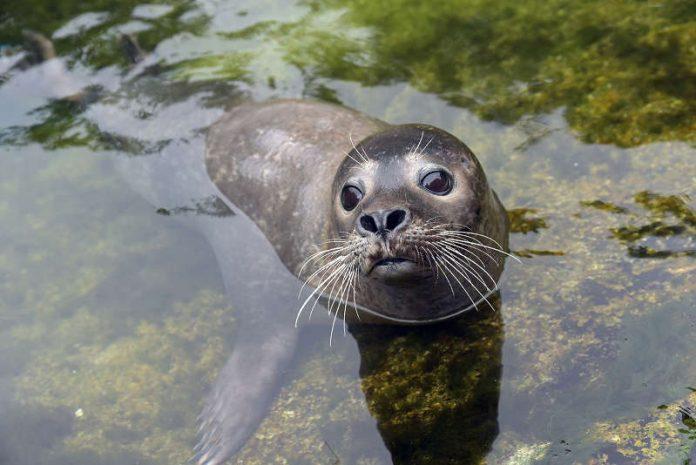Seehund im Zoo (Foto: Detlef Möbius)