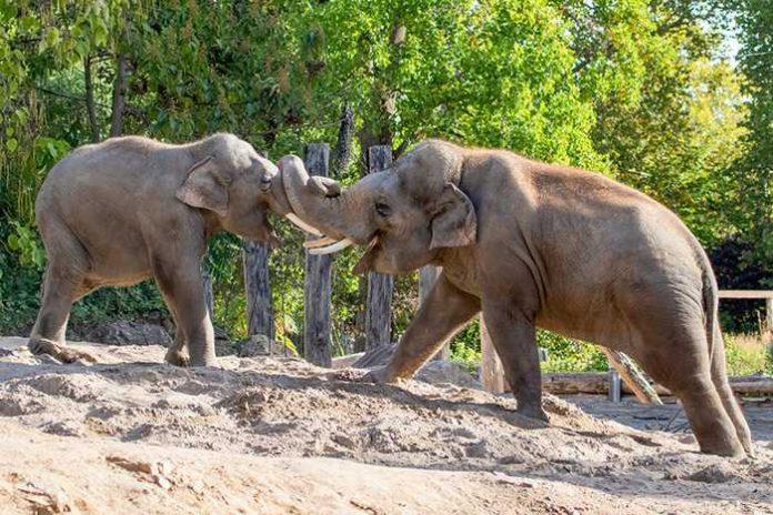 Die beiden Jungbullen Ludwig (li.) und Gandhi (r.) messen ihre Kräfte. (Foto: Petra Stein/Zoo Heidelberg)