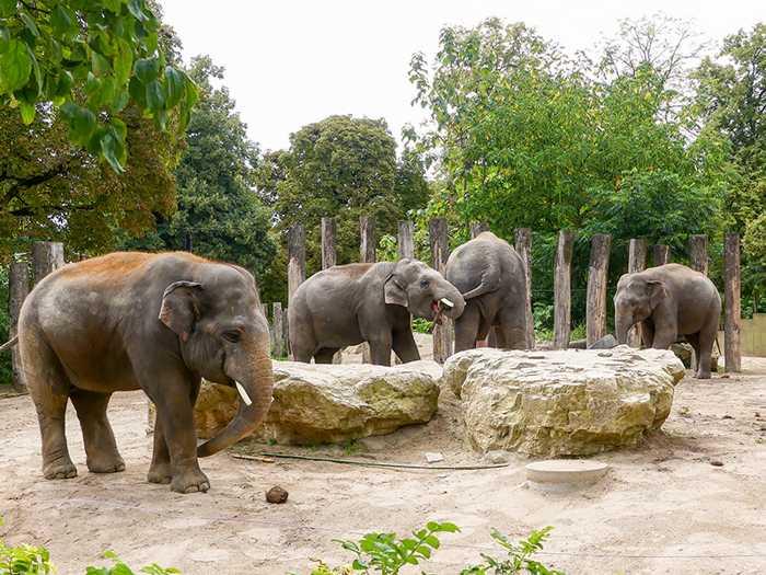 Chef Gandhi (li.) wird die Heidelberger Jungbullen-WG Anfang November verlassen. (Foto: Petra Medan/Zoo Heidelberg)