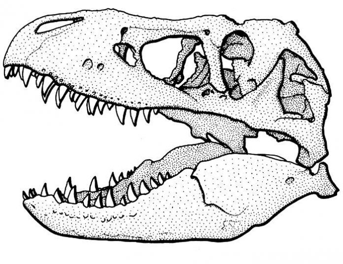 Wissenschaftliche Zeichnung eines Tyrannosaurus-Schädels – eines der vielen Motive, die zur Auswahl stehen. (Zeichnung: Frank Wieland)