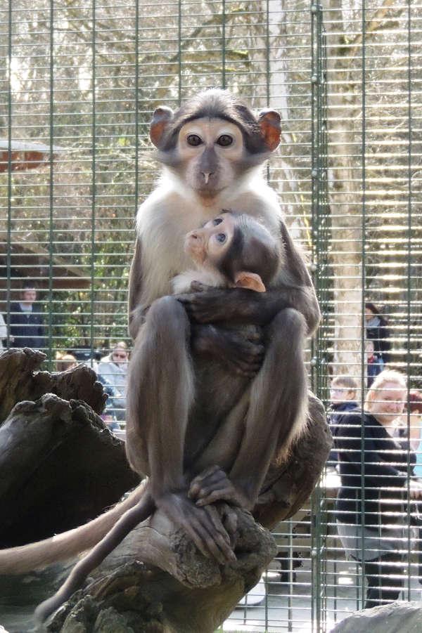 Weißscheitelmangabe (Foto: Zoo Landau)