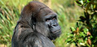 Symbolbild Gorilla (Foto: Pixabay).jpg