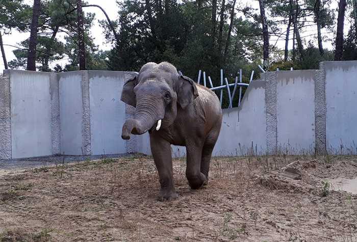 Elefant Gandhi hat die Fahrt gut überstanden und ist wohlbehalten im Zoo La Palmyre, Frankreich, angekommen (Foto: Tobias Kremer/Zoo Heidelberg)