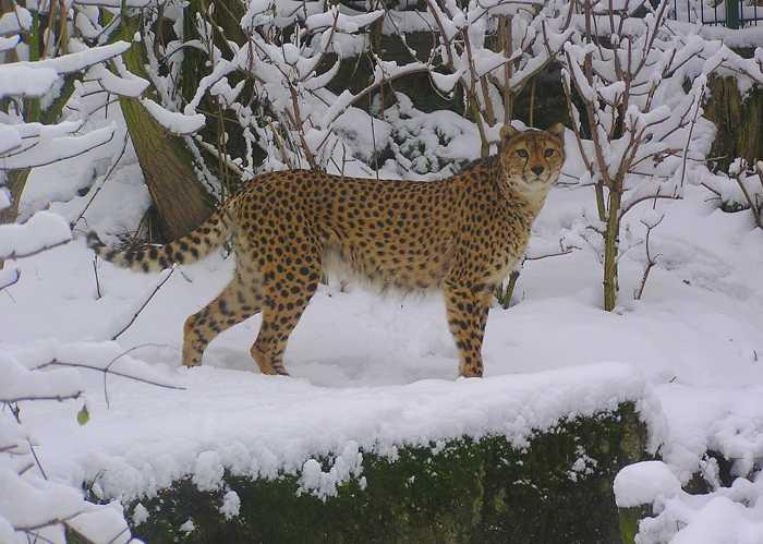 Gepard im Schnee Quelle: Zoo Landau