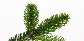 Symbolbild Tannenbaum (Foto: Pixabay)