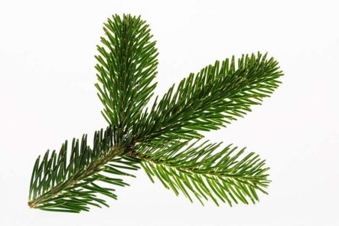 Weihnachtsbaum Kaufen Karlsruhe.Haßloch Weihnachtsbäume Selber Schlagen Am 15 Dezember 2018