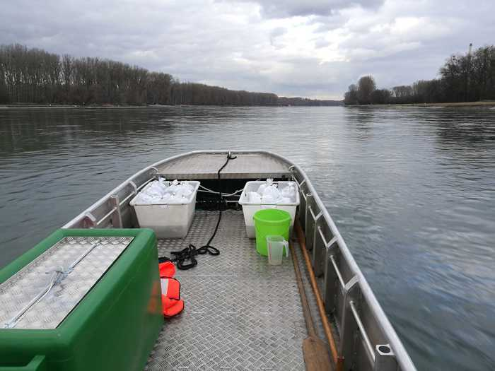 Die Glasaale auf dem Weg in neues Gewässer Bildnachweis: Regierungspräsidium Karlsruhe