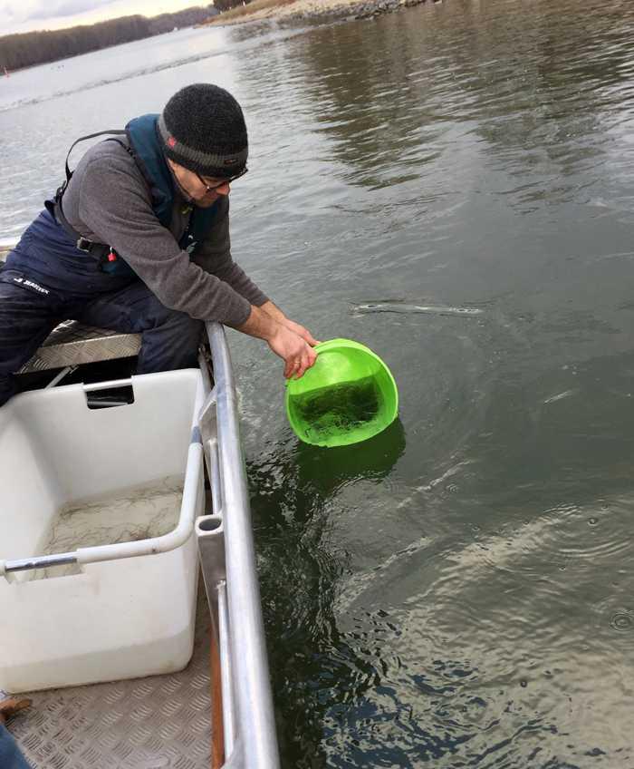 Glasaale werden in den Rhein besetzt Bildnachweis: Regierungspräsidium Karlsruhe
