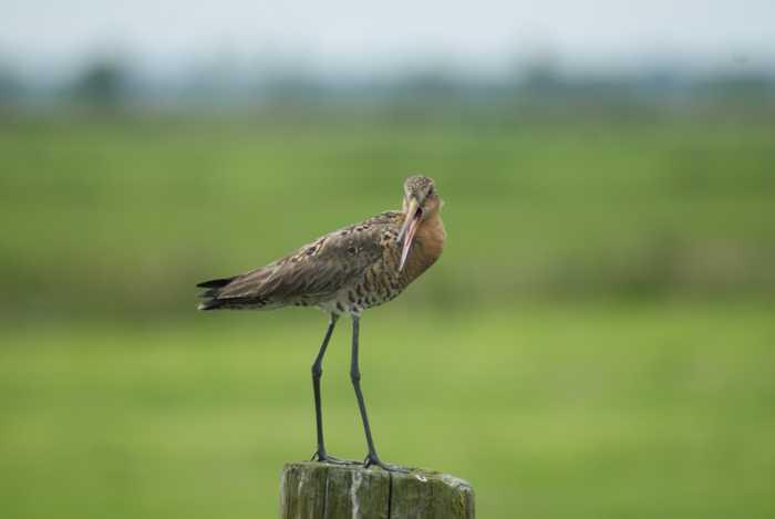 Alarmierende Zahlen - Der Rückgang der Feldvögel ist dramatisch - Quelle: NaBu