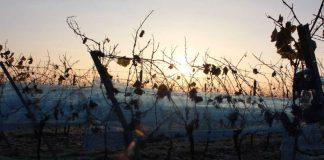 Frost im Jahr 2013 (Foto: Pfalzwein e.V./Breiling)