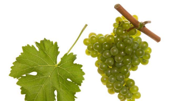 Der Sauvignon Blanc ist die Rebsorte des Jahres 2019 (Quelle: Faber & Partner)