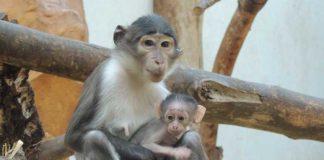 Mangaben - Quelle: Zoo/Zooschule Landau