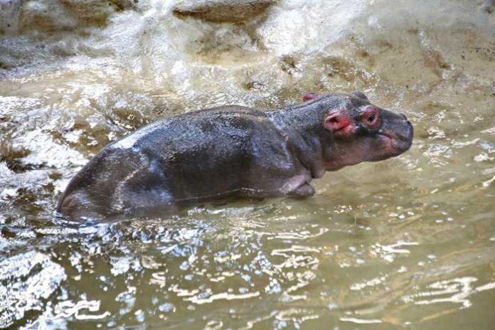 Traurige Nachricht: Das junge Flußpferd ist tot Quelle: Zoo Karlsruhe