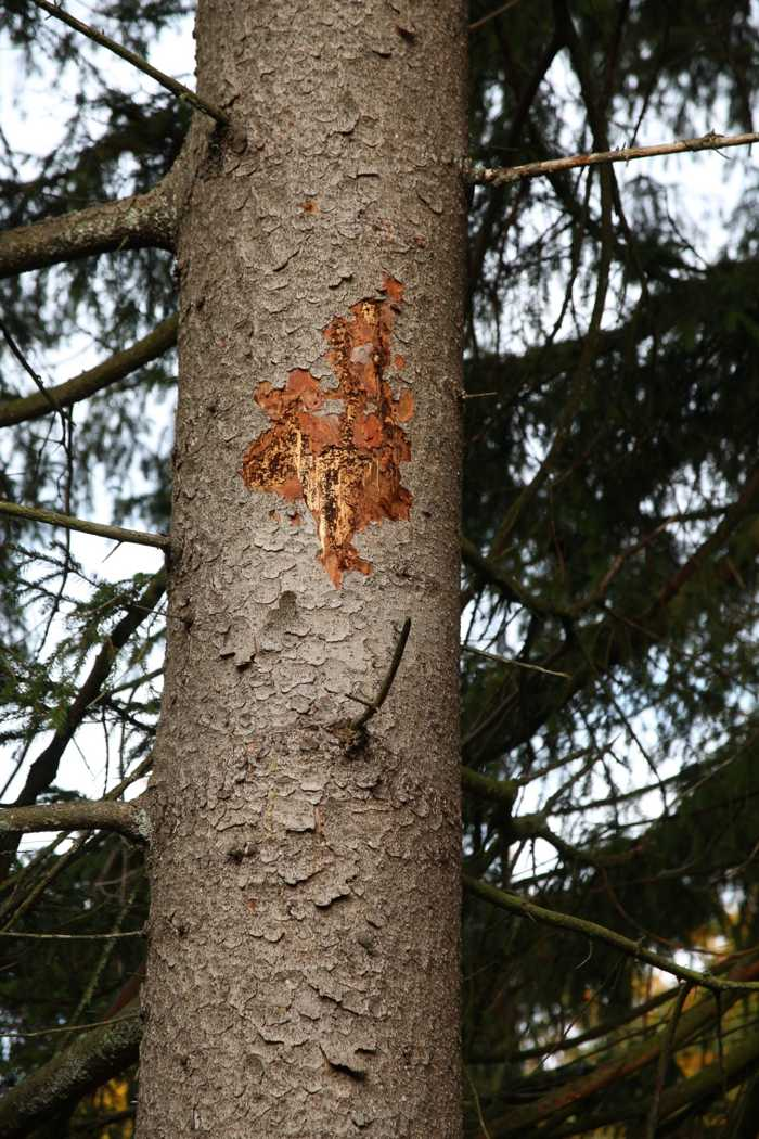 Vom Specht geöffnetes Brutbild, der Baum ist vollständig vom Buchdrucker besiedelt (Bild: R. John, FVA Baden-Württemberg, Abt. Waldschutz).