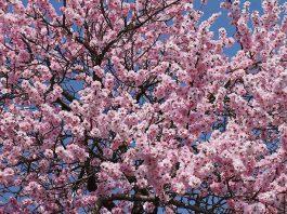 Symbolbild Mandelblüten (Foto: Holger Knecht)