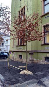 Die neue Traubeneiche vor dem Stadthaus IV. (Foto: Stadtverwaltung Neustadt)